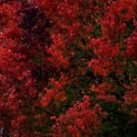 Red Autumn Leaves, by Kenneth Byrd