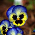 Blue and Yellow Pansies, by Kenneth Byrd