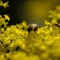 beeyellowflower-125x125