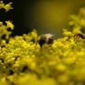 Bee and Yellow Flowers, by Skip Baumhower