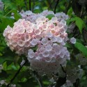 Mountain Laurel, by Dorothy Lott