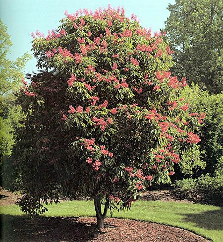 Red Buckeye Aesculus Pavia The University Of Alabama