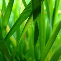 bladesofgrass-125x125