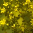 yellowflower-125x125