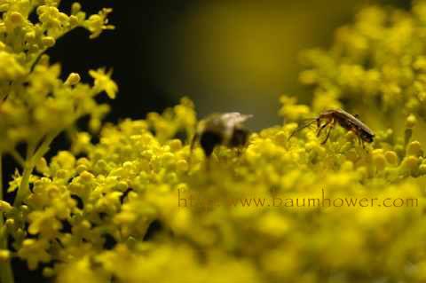 beeyellowflower
