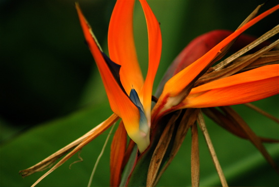 Orange Bird of Paradise Flower, by Kenneth Byrd