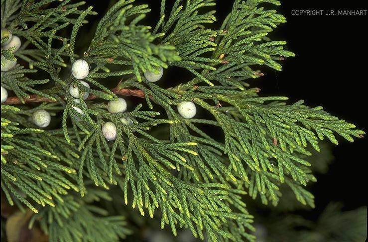 Christmas Tree Red White