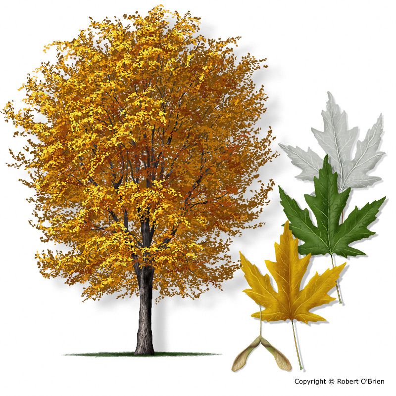 also known as river maple white maple water maple or silverleaf maple ...