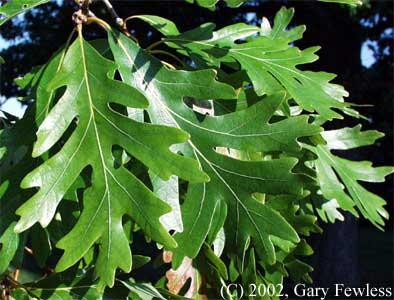 Quercus Alba Leaf