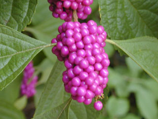 American Beautyberry Callicarpa Americana The