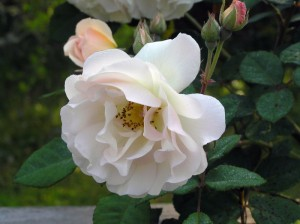 roses resize